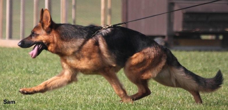 Best german shepherd breeders uk